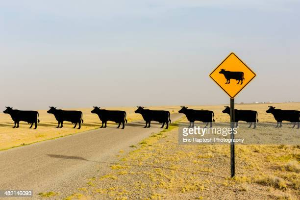 Cows crossing road behind cow crossing sign