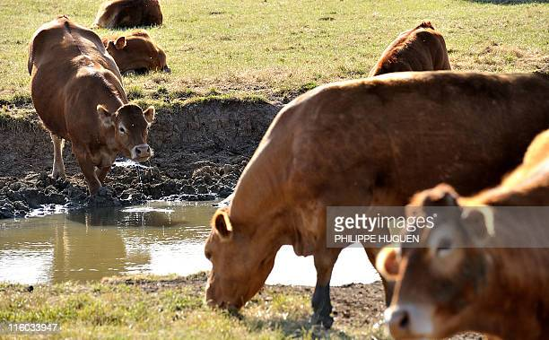 Cows drink in a water hole on May 23 2011 in the French northern village of Godewaersvelde France was in a state of crisis over rainfall shortages...