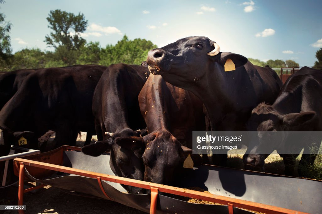 Cows Eating from a Trough