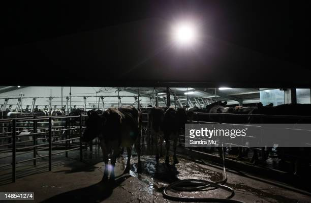 Cows exit the rotary milking shed at a dairy farm on April 18 2012 in Morrinsville New Zealand Raw milk sales are growing as more people are...