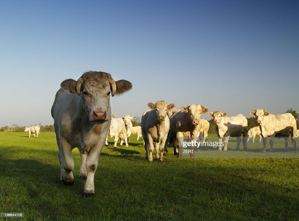 Cows  facing photographer