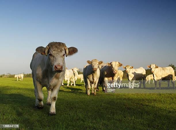 Cows  facing photographer