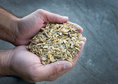 Mixed grains for cows in man's hand
