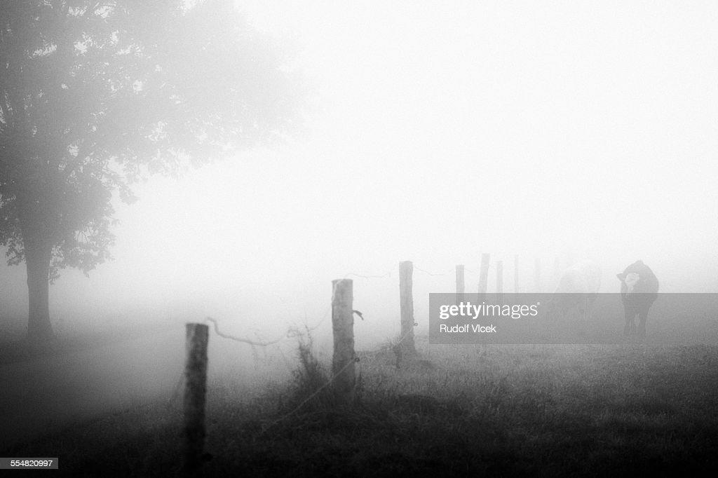 Cows, fence, fog
