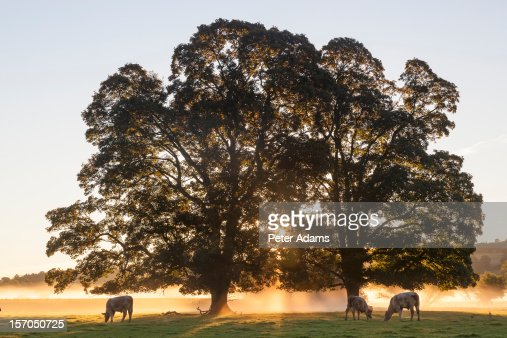 Cows & Field, Sunrise, Usk Valley, Wales, UK : Stock Photo