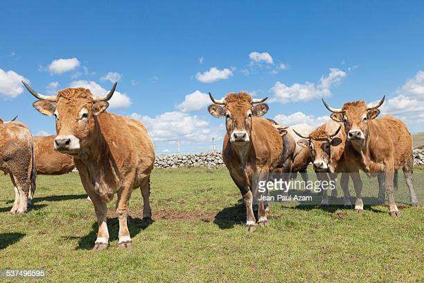 Cows from the Aubrac region