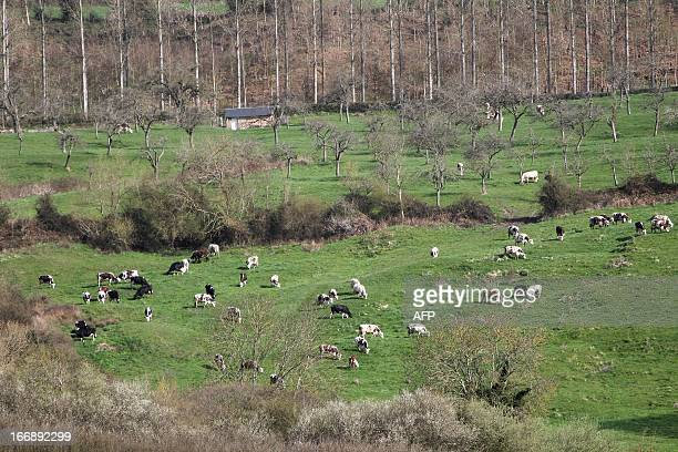Cows gather in a field near the French northwestern village of Camembert in Normandy where the Camembert cheese originated on April 18 2013 Since...