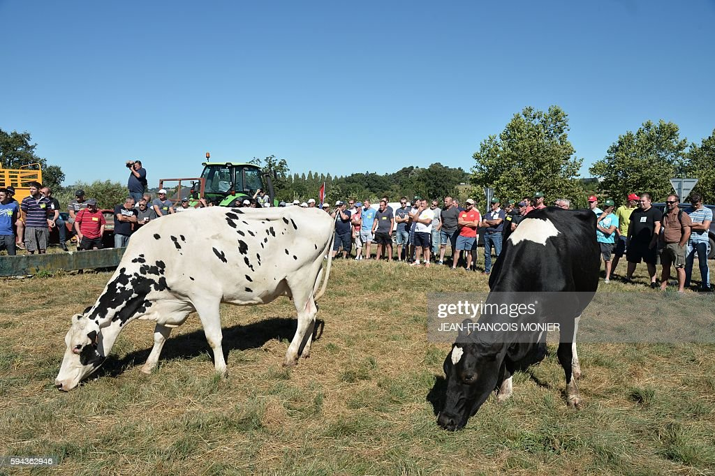 Cows graze as farmers block access to the Lactalis group headquarters in Change near Laval northwestern France during a protest to ask for a 'fair...