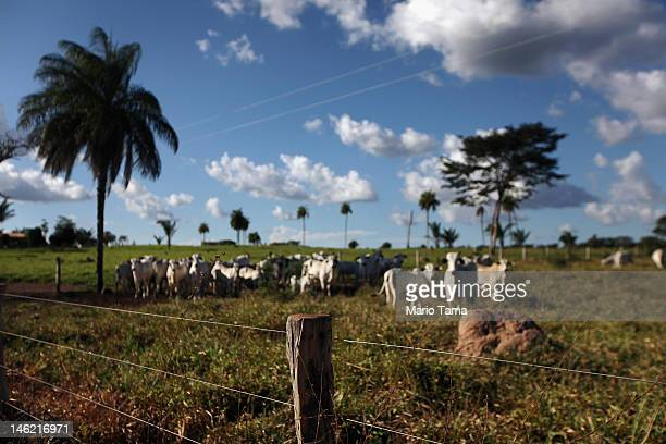 Cows graze in a deforested section of Amazon rainforest on June 10 2012 near Amarante do Maranhao Brazil The cattle industry has taken over much of...