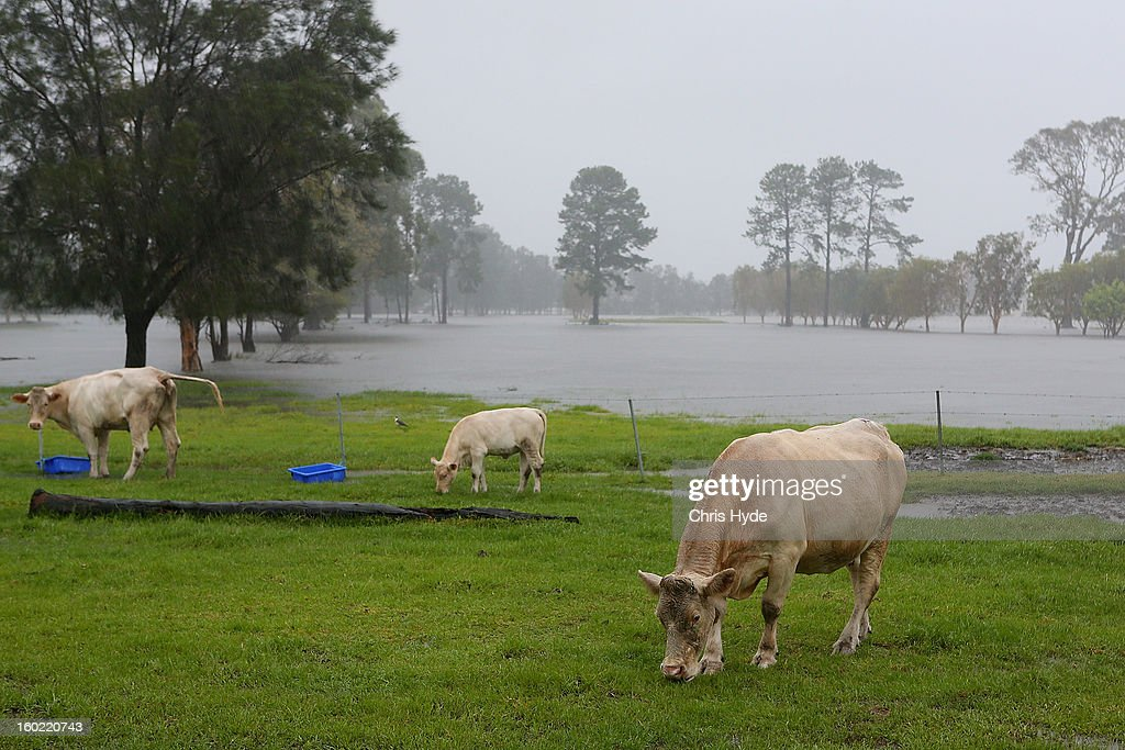 Cows graze in Carrara while farms flood as Queensland experiences severe rains and flooding from Tropical Cyclone Oswald on January 28, 2013 in Gold Coast, Australia. Hundreds have been evacuated from the towns of Gladstone and Bunderberg while the rest of Queensland braces for more flooding.