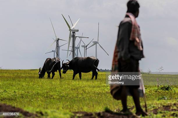 Cows graze in front of wind turbines manufactured by RRB Energy Ltd front and Gamesa Corp at the Bharat Light Power Ltd Amberi wind farms in...