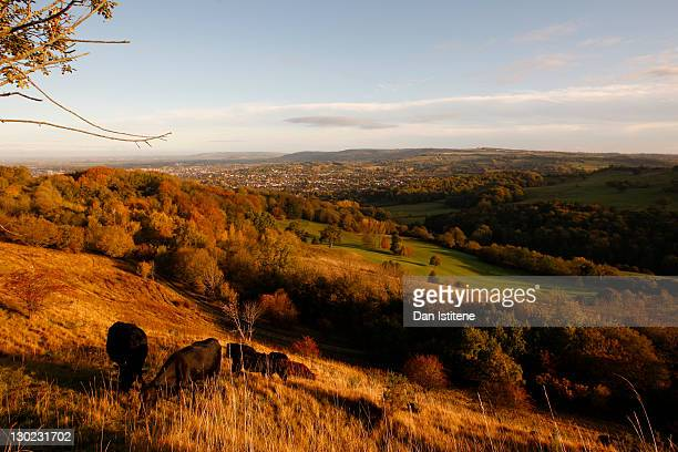 Cows graze in the early morning sunlight on the upper slopes of Leckhampton Hill in the Cotswolds on October 25 2011 in Cheltenham England The hill...