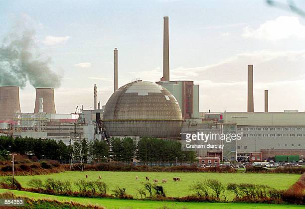 Cows graze in the shadow of the Sellafield nuclear reprocessing facility November 26 2001 in Cumbria England The plant is at the center of a legal...