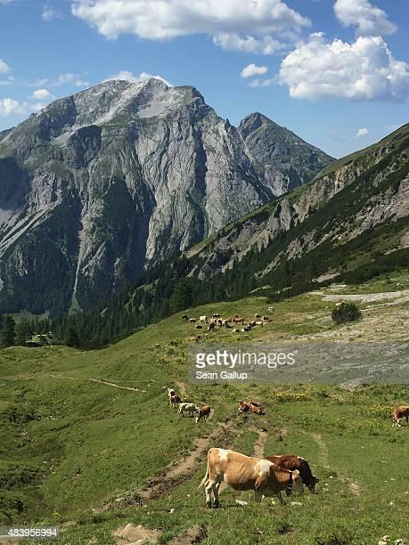 Cows graze on an alpine meadow in the Karwendel mountain range on August 9 2015 near Eng Alm Austria The Karwendel mountain range part of the...