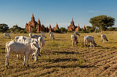Cows grazing among Bagan Temples in Myanmar. Buddhist pagodas at background.