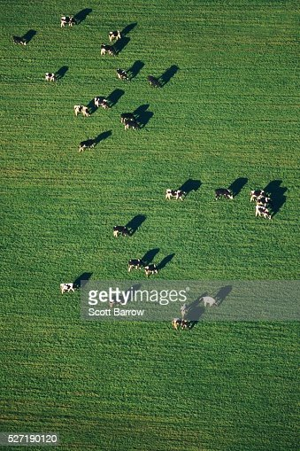 Cows grazing in a field : Stock Photo