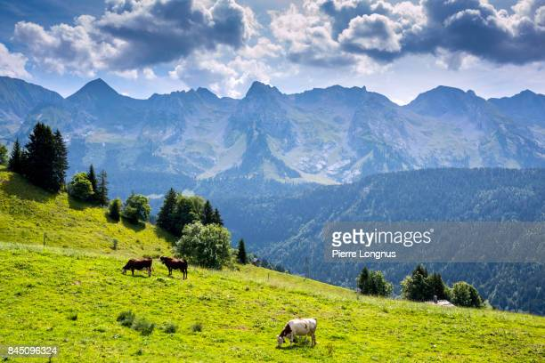 Cows grazing in altitude on an Alpine meadow above the Village of Le Grand-Bornand, near the Aravis Mountain Range, Haute Savoie, France