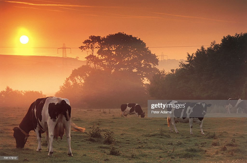 Cows grazing in field at dawn : Stock Photo