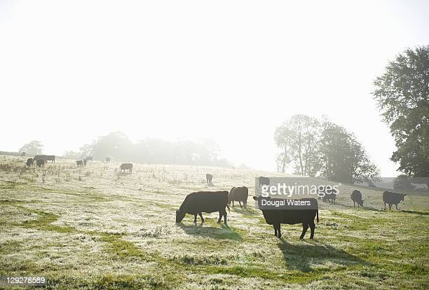 Cows grazing in field in morning light.