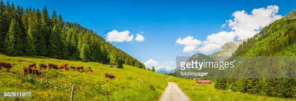 Cows grazing in idyllic Apline meadow valley summer Alps panorama