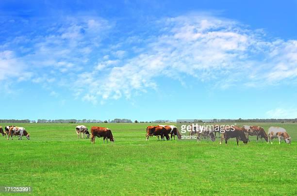 Les bovins paissant sur Pâturage