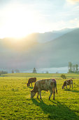 Cows grazing on a green lush meadow in the Bavarian Alps with and Watzmann massif in the background, Nationalpark Berchtesgadener Land, Bavaria, Germany