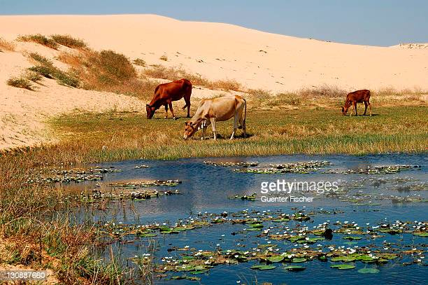 Cows grazing on a small strip of pasture on the edge of a desert lake which is threatened by wandering sand dunes, near Mui Ne, Vietnam, Asia