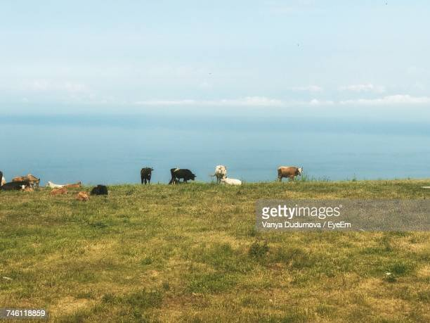 Cows Grazing On Grassy Field By Sea Against Sky