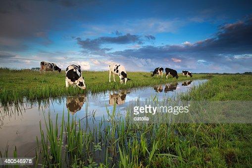 Vacas de pastoreo en pasto al río : Foto de stock