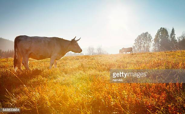 Cows grazing on the meadow in sunset light