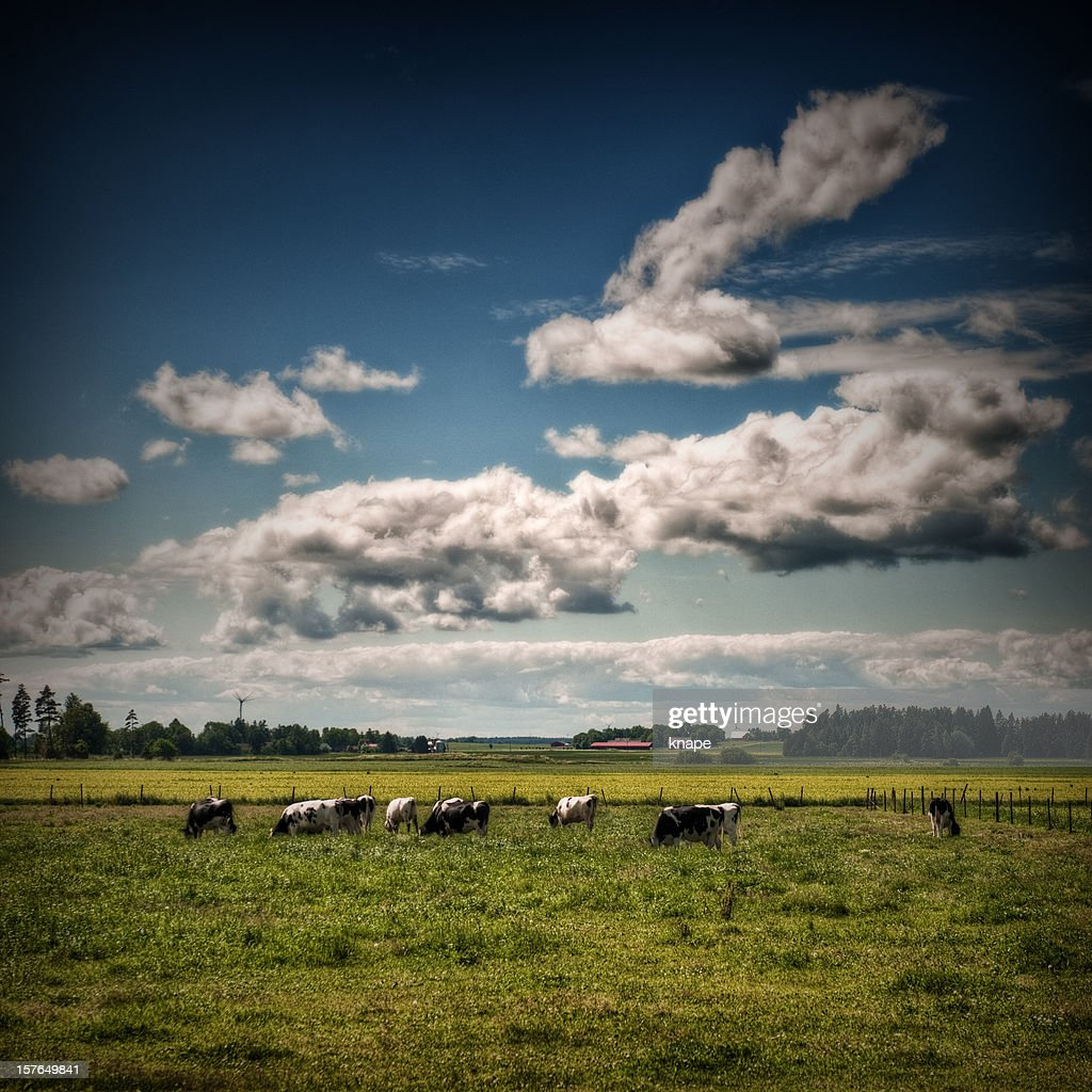 cows grazing : Stock Photo