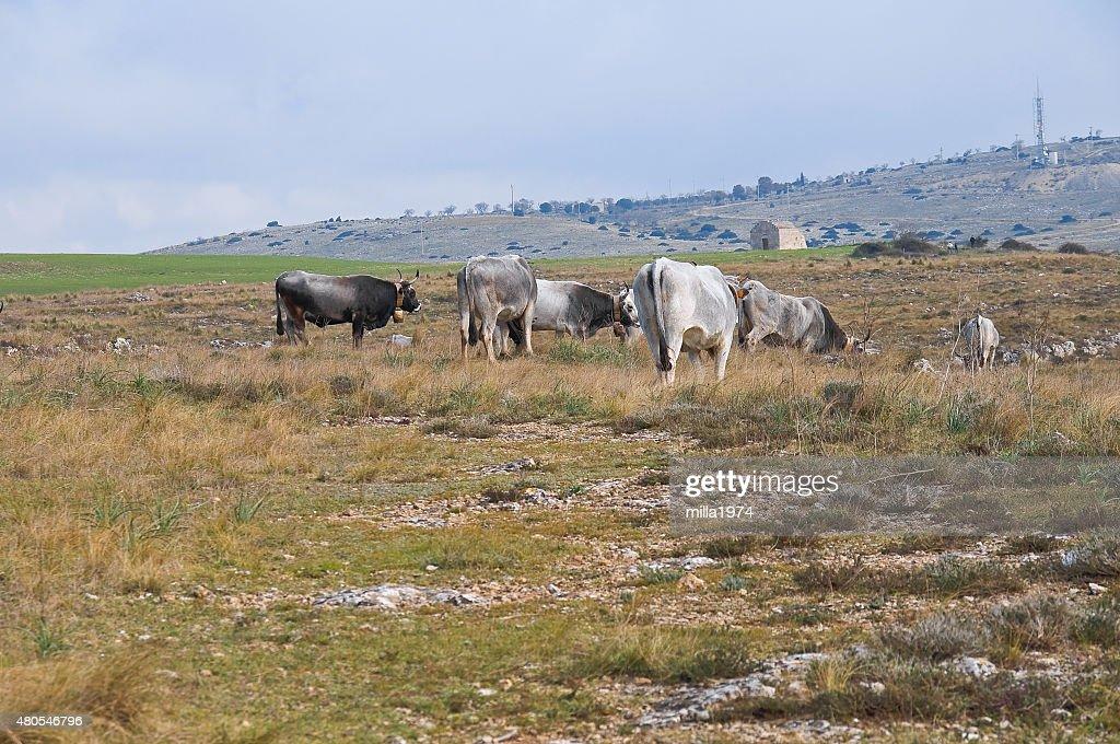Vacas de pastoreo. : Foto de stock