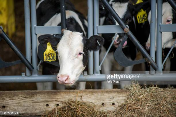 Cow's head pushed through a feeding gate in Millerstown Pennsylvania USA