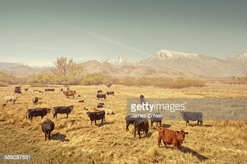 cows in a field with distant mountains