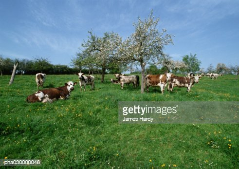 Cows in a green field.