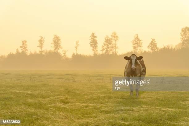 Koeien in een weide tijdens een mistige sunrise