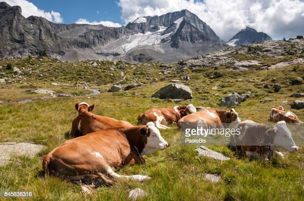 Cows in a mountain pasture, Mount Collalto - Hochgall, Vedrette Nature Park of Ries - Aurina, South Tyrol, South Tyrol