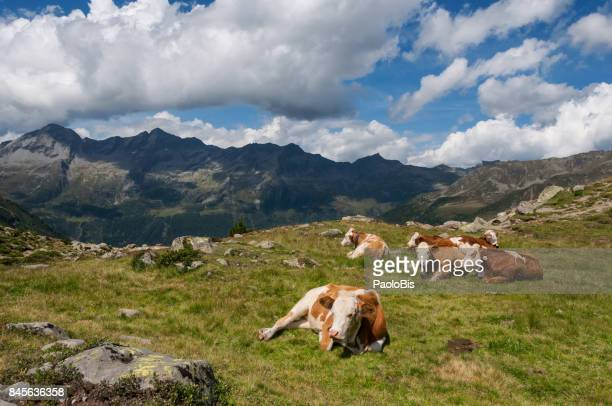 Cows in a mountain pasture,  Nature Park Vedrette of Ries - Aurina, South Tyrol, South Tyrol