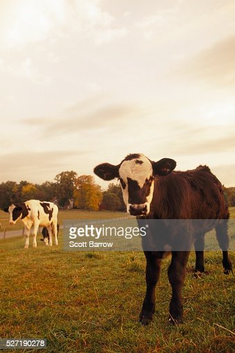 Cows in a pasture : Foto stock