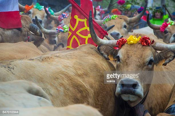 cows in aubrac easter cattle festival transhumance
