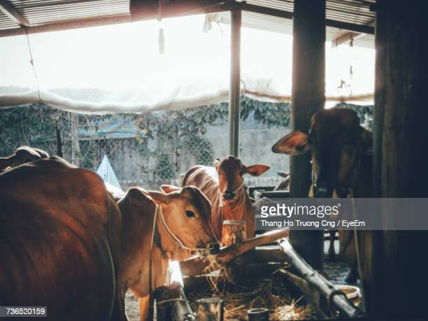 Cows In Barn