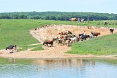 """Dairy cattle in erosion """"crater"""" in the pasture."""