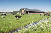 cows in dutch meadow on sunny summer day in the netherlands with farm in the background