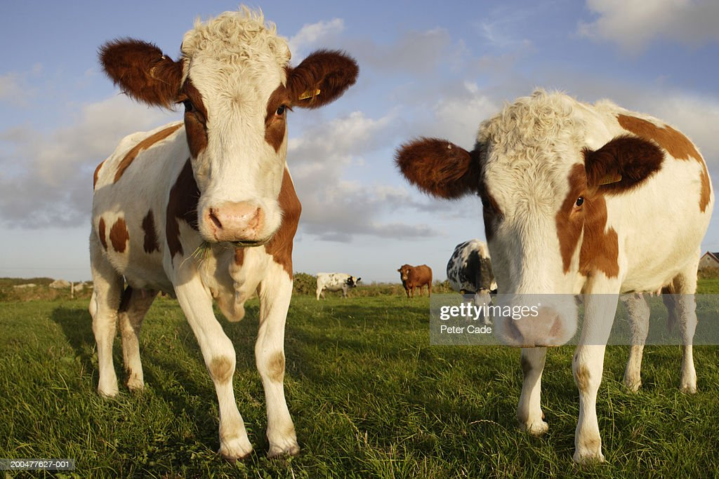 Cows in field : Stock Photo