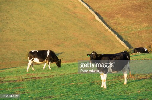 Cows in field, UK : Stock Photo