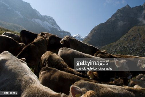 Cows in hill