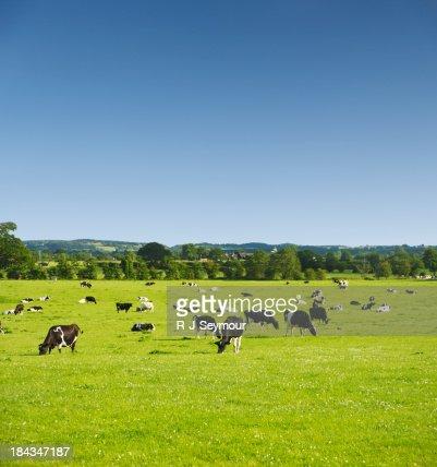 Cows in Idyllic Pastures