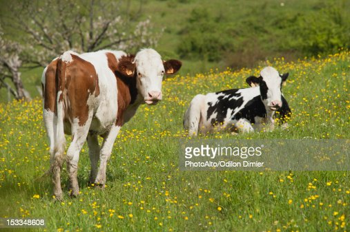 Cows in pasture : Stock Photo