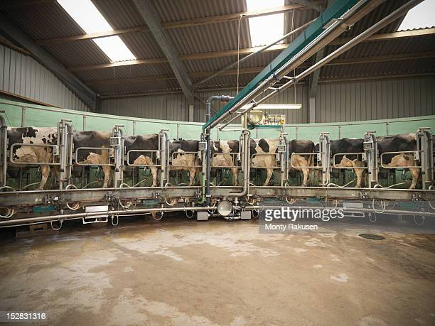 Cows in rotary milking parlour on dairy farm