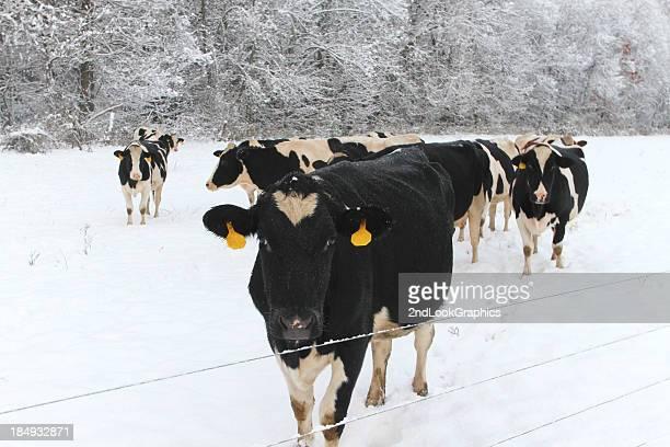 Cows in Season's First Snowfall